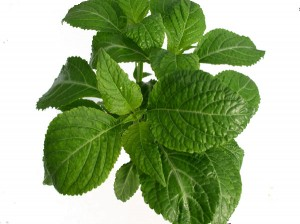 Salvia Divinorum - Where To Buy Salvia