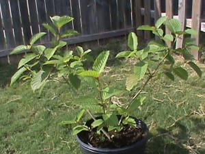 Kratom Plant 2016
