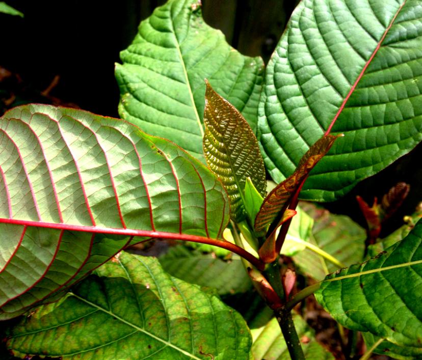Live Kratom Plants - EthnoDirect